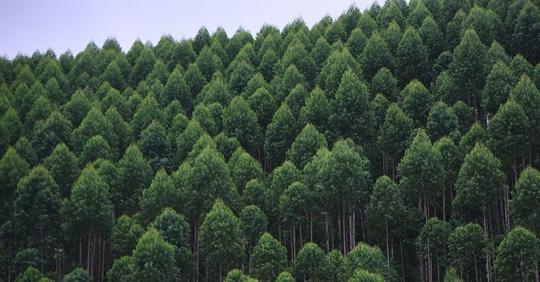 Rừng nguyên liệu Pallet gỗ tại Vĩnh Phúc